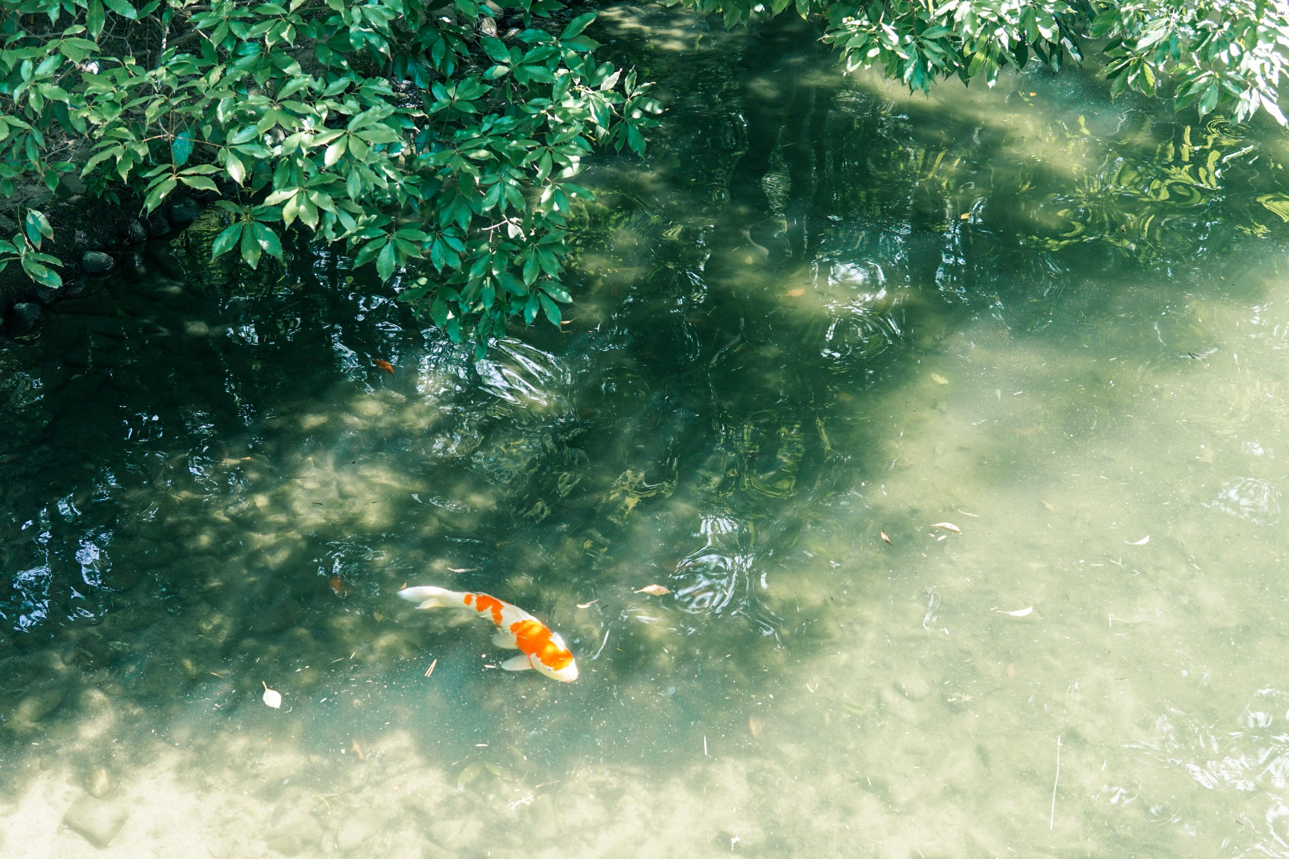 picture of a koi fish swimming in a pond